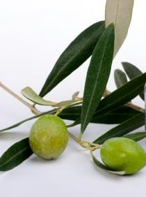 Olives for making olive leaf extract